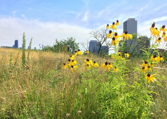 Ratibida pinnata (gray-headed coneflower) blooms beautifully in one of my green roof plots.