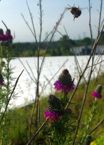 The Dalea purpurea (purple prairie clover) was blooming on the green roofs in June and attracting pollinators!