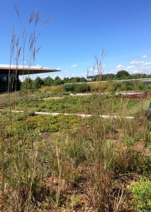 Big bluestem is flowering in my green roof plots. See you next spring, prairie plants!
