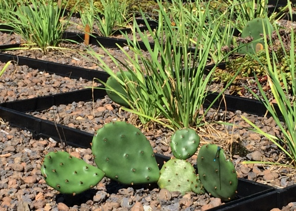 The prickly pear cactus is one of the only native species that survived two harsh years in the green roof trays.