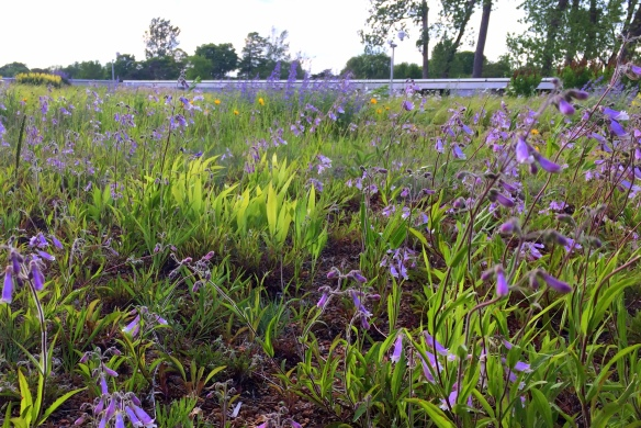 ksiazek mikenas penstemon hirsutus green roof summer blooming pollination diversity