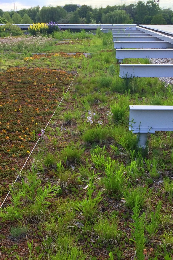green roof prairie summer ksiazek mikenas chicago botanic
